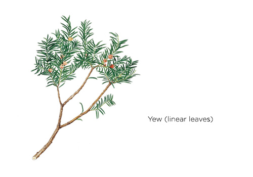 Yew (linear leaves)