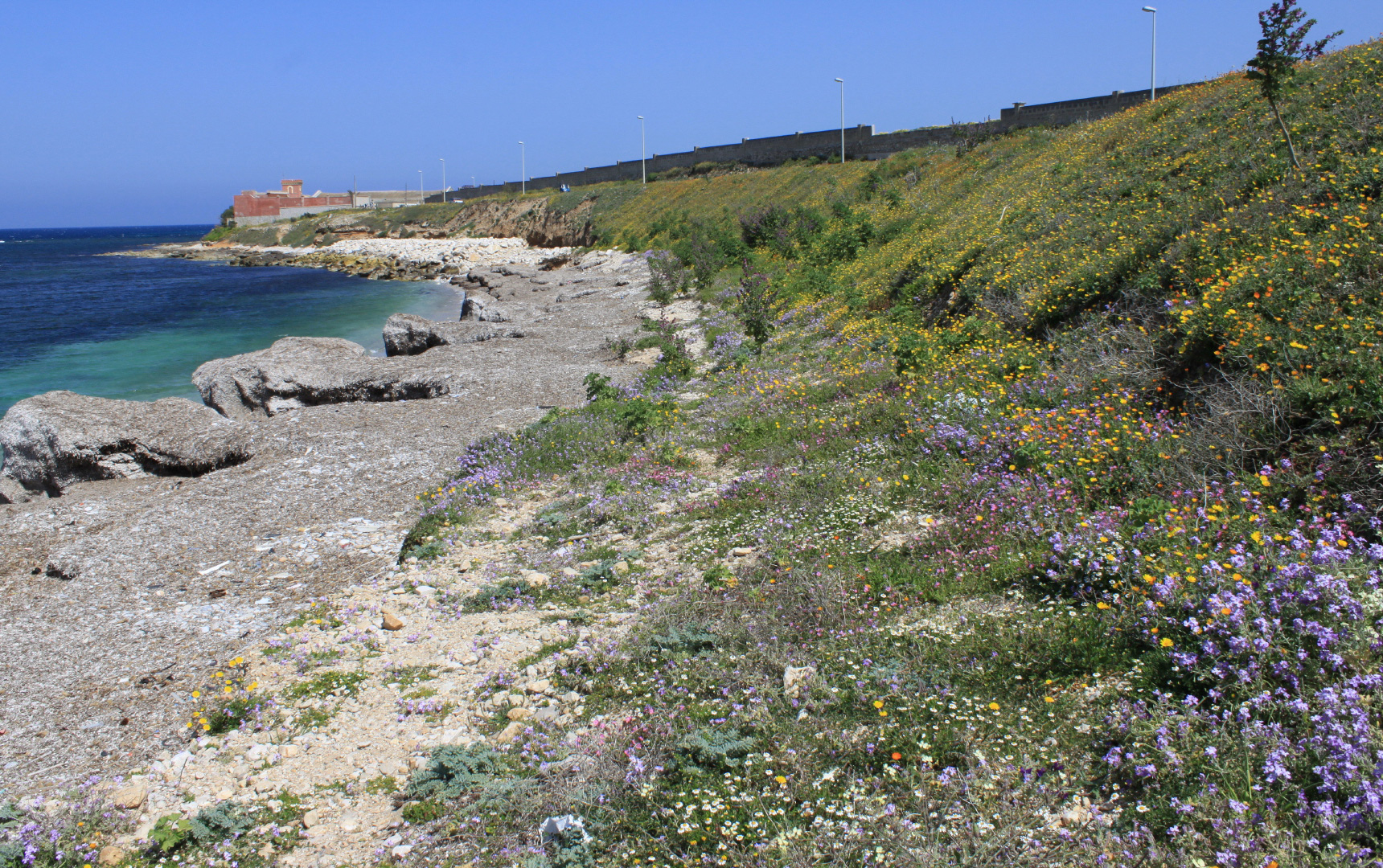 calendula maritima on the coasts of sicily