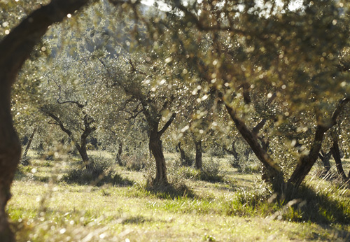 olive tree cultivation in greece