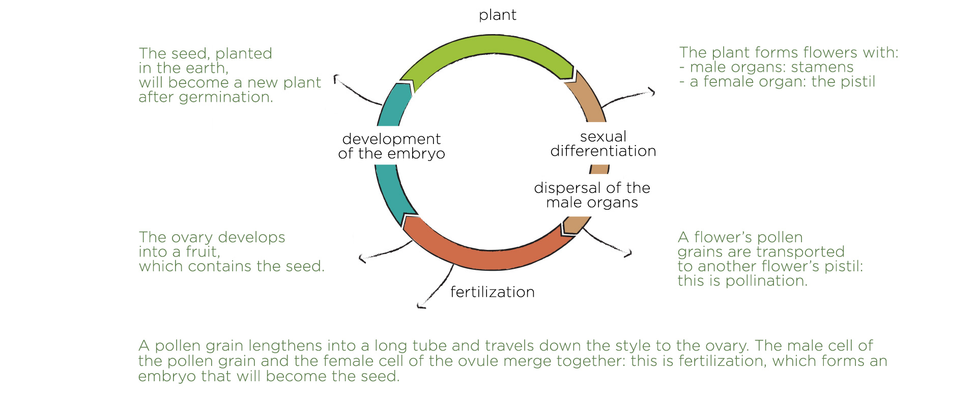 development cycle of an angiosperm