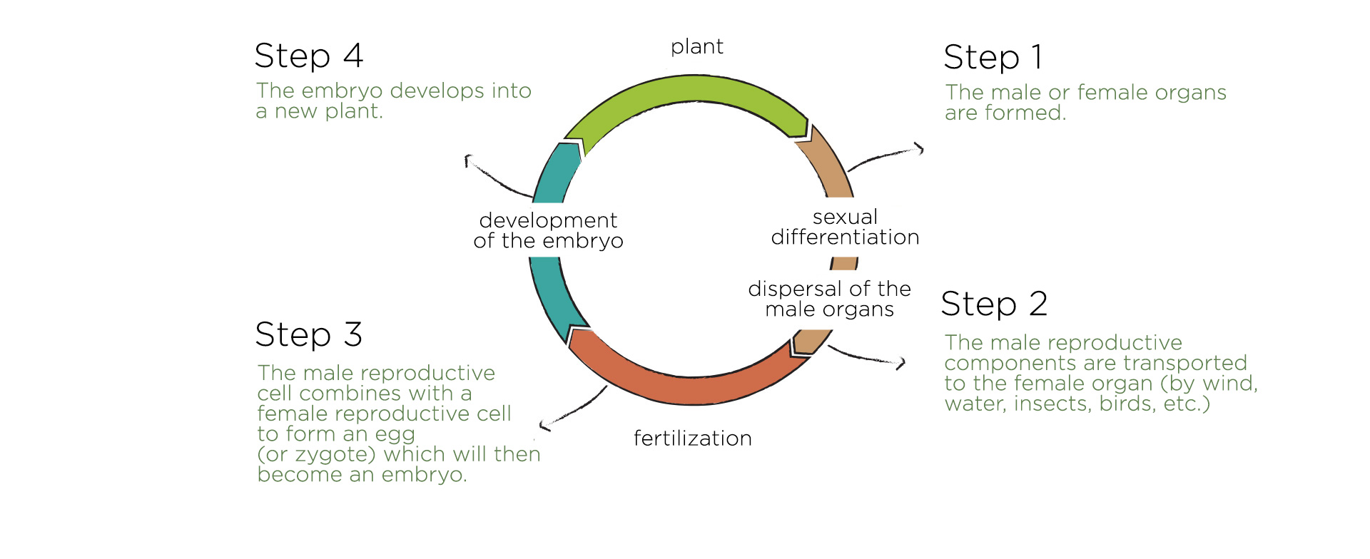 stages sexual reproduction