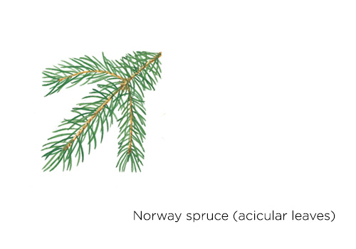 Norway spruce (acicular leaves)