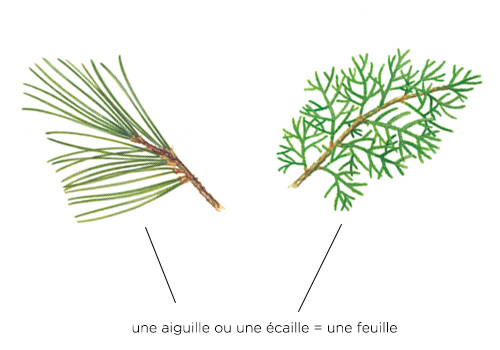 feuille-coniferes
