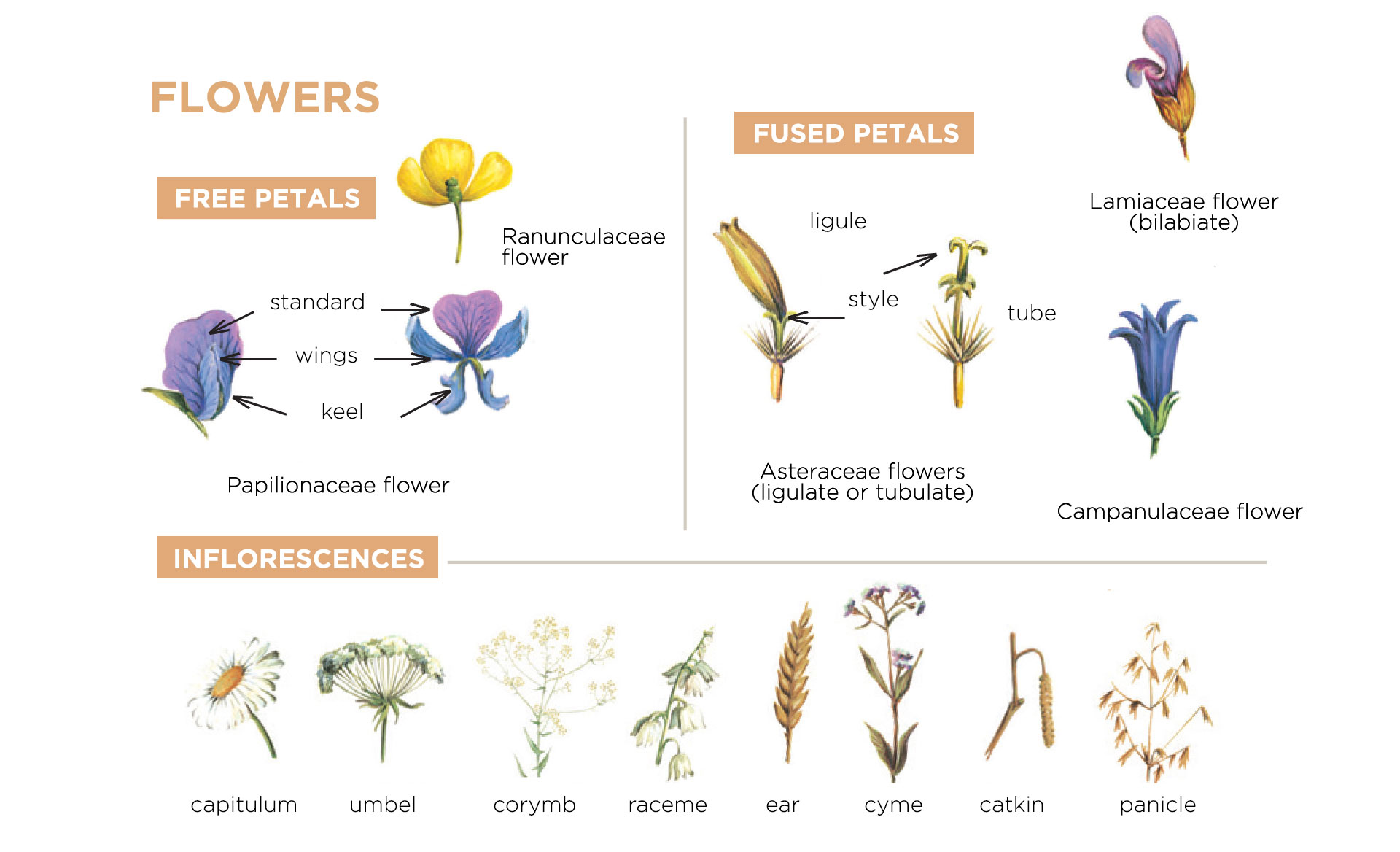 botany lessons : flowers