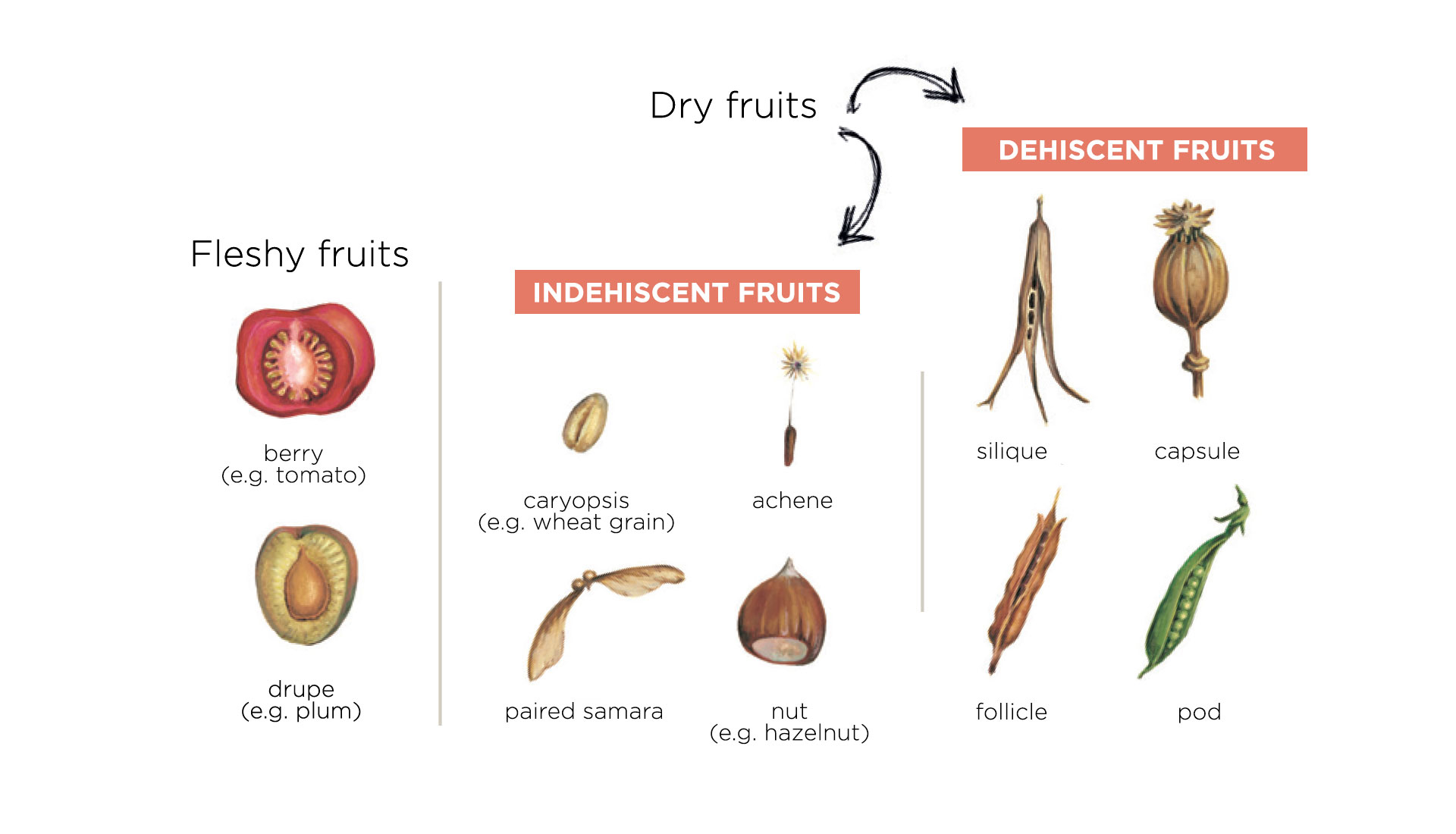 fruits - botany lessons