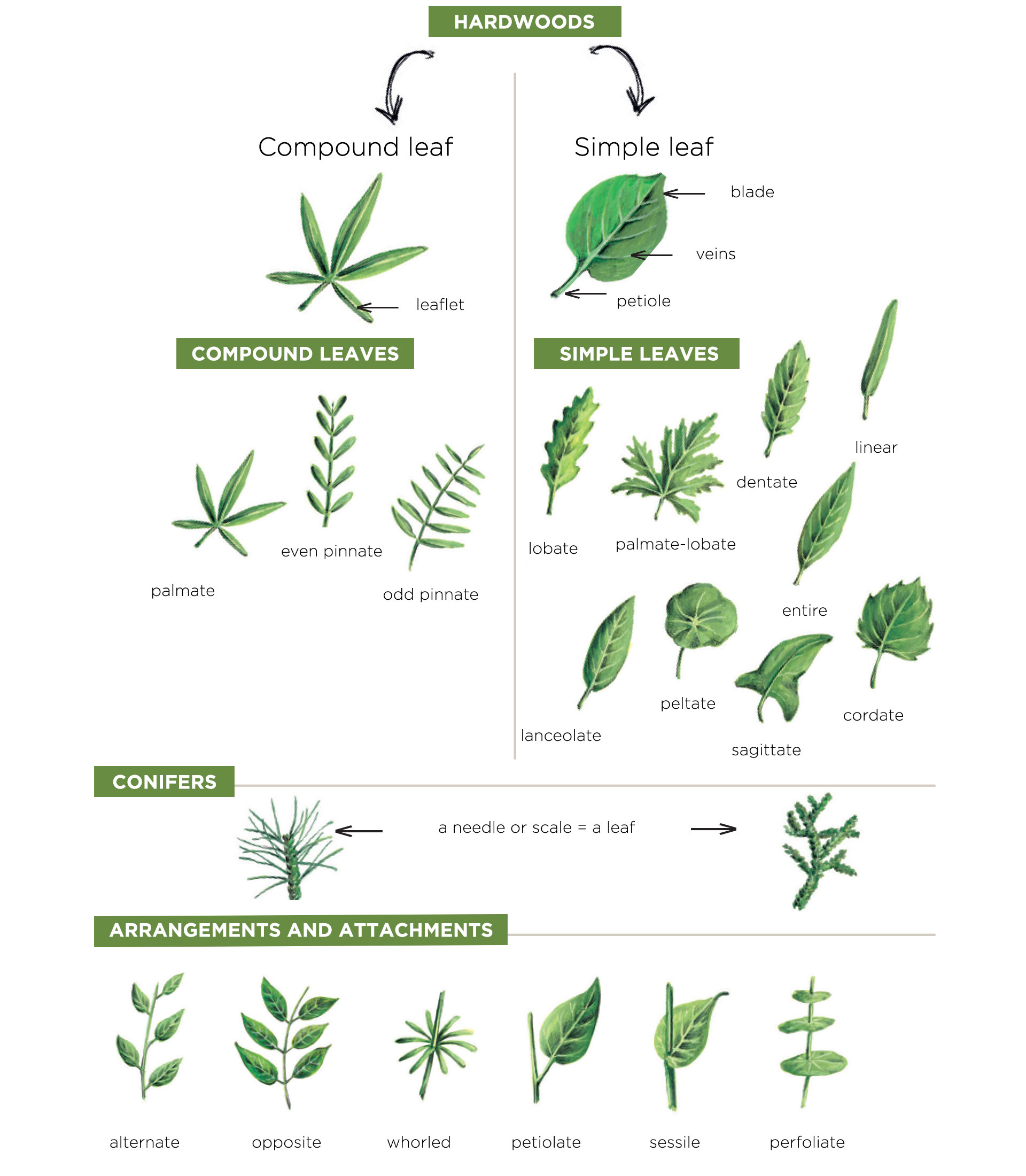 leaves - botany lessons