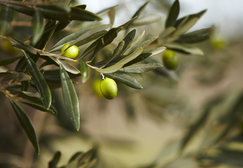 olive trees in greece project page