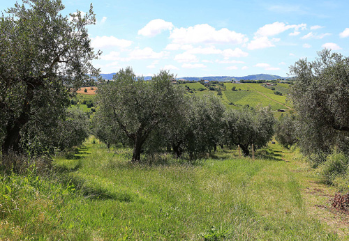 olive tree for life san patrignano