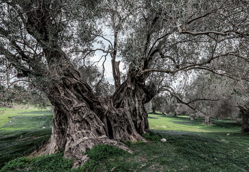 thousand-year-old olive trees