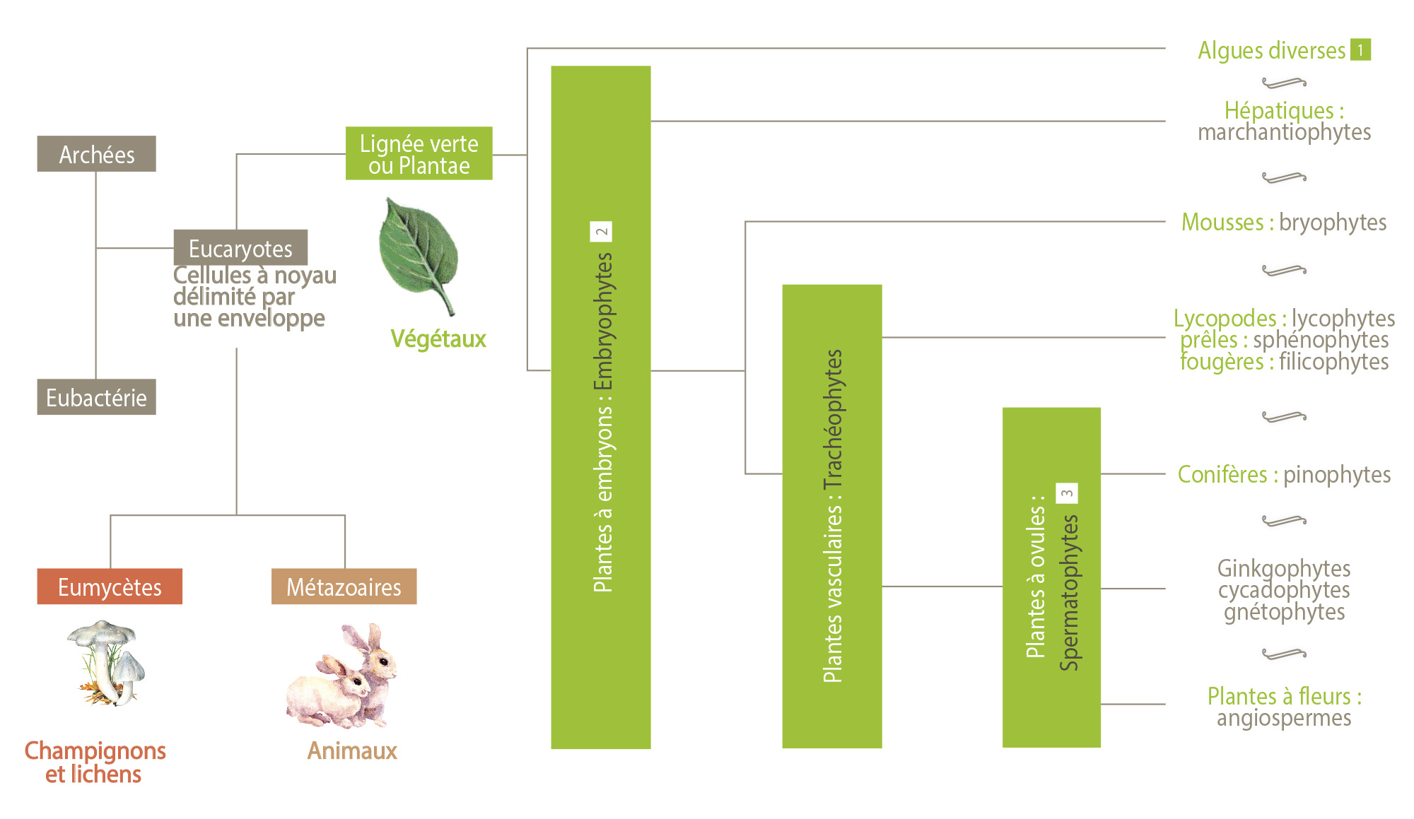 vegetaux dans classification phylogenetique
