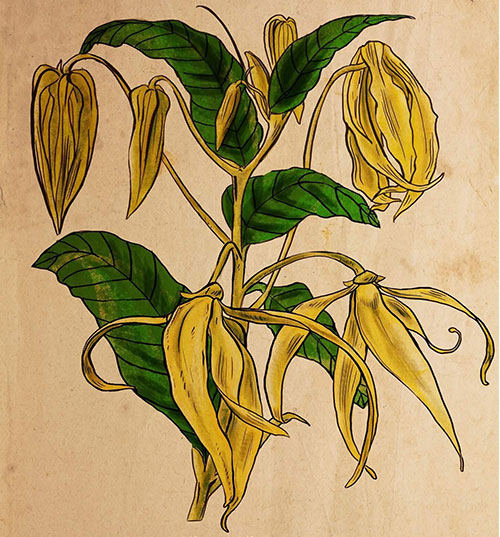 illustration ylang ylang