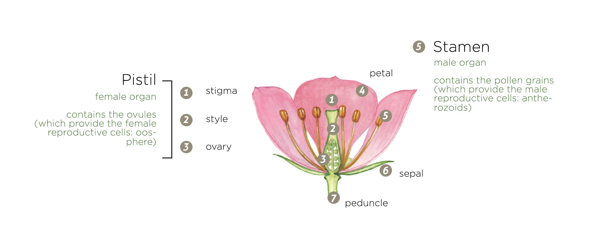 reproductive system of an angiosperm - botany lessons